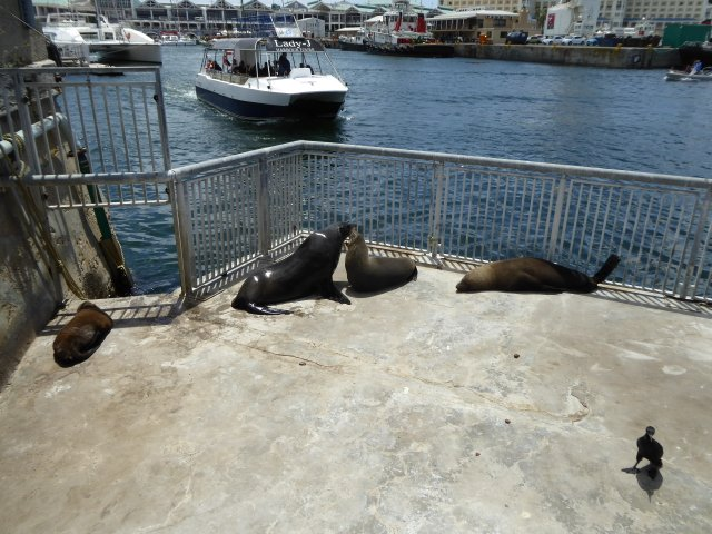 Atlantic Fur Seals on their own bit of the Harbour